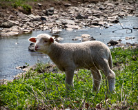 Lamb by Water